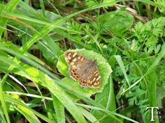 Mariposa en la hierba