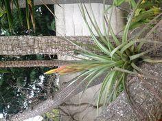 Tillandsia jalisco-monticola waiting for flowers to open