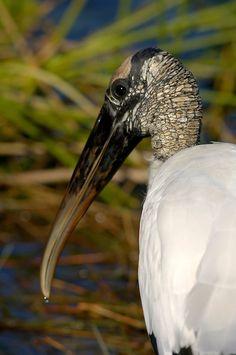 Wood stork, Everglades National Park, Florida by Jack Heinemann