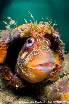 Tompot blenny in tube