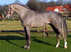 Benz, Royal Dutch Warmblood (KWPN) stallion, b. hh - sold by Benny de Ruiter Stables Dutch Warmblood, Warmblood Horses, Kwpn Horse, Most Beautiful Animals, Beautiful Horses, All The Pretty Horses, Horses For Sale, Horse Love, Grey Horses