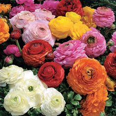 The only dwarf Ranunculus available, Magic Mix offers large double blooms in 5 bright colors. Never needs staking, and finishes fast!