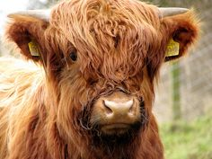Who can resist a shaggy Highland coo?
