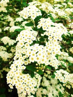 Snowball bush z garden landscaping pinterest snowball next to the driveway there was a row of bushes with bunches of tiny white flowers they were bridal wreath bushes i always loved those cute little flowers mightylinksfo