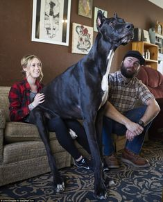 Rocko might be the world's tallest dog Meet Rocko: He's a Great Dane, stands 7 feet tall and is now vying for a Guinness World Records . Huge Dogs, Giant Dogs, Dane Puppies, Black Lab Puppies, World's Tallest Dog, Worlds Biggest Dog, Great Dane Facts, Black Great Danes, Big Dog Breeds