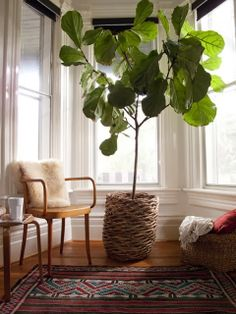 Love this space --Fiddle leaf fig trees (Ficus Lyrata)