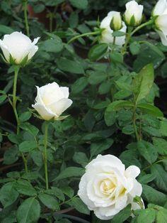 Rózsa fajták Pergola, Flowers, Plants, Outdoor Pergola, Plant, Royal Icing Flowers, Flower, Florals, Floral