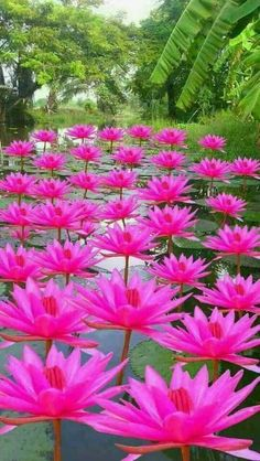 Gorgeous Group of Water-Lilies: Nymphaea [Family: Nymphaeaceae] Beautiful Rose Flowers, Unusual Flowers, Flowers Nature, Amazing Flowers, Beautiful Gardens, Pink Flowers, Beautiful Flowers, Beautiful Beautiful, Good Morning Flowers