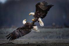 Two bald eagles (Haliaeetus leucocephalus) fight over a salmon carcass along the Chilkat River in the Alaska Chilkat Bald Eagle Preserve near Haines, Alaska federal state, USA.