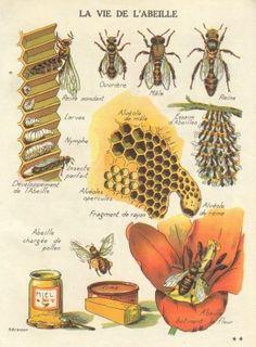 The Homestead Survival | Honey How Do Bees Make It  | homesteading & Beekeeping & Bees  http://thehomesteadsurvival.com