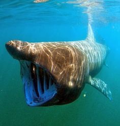 The megamouth shark is one of three species of shark – including the basking shark, pictured here – that eats plankton. The megamouth eluded discovery until 1976 [Credit: WikiCommons] The ancient shark likely prowled both deep and shallow waters for plankton and fish, using its massive mouth to filter food.