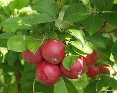 """Syysomena """"Sandra"""" Keskikokoiset/suuret pohjaväriltään kellanvihreät (punaisia viiruja) hedelmät. Erinomainen syöntiomena. Hyväsatoinen ja voimakaskasvuinen puu. Delicious Fruit, Fruits And Vegetables, Fungi, Vegetable Garden, Shrubs, Flora, Apple, Plants, Climbers"""