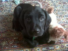 Zappa at 7 weeks old (Springador = Springer Spaniel x Labrador)