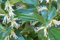 Sarcococca confusa Glossy green hedging shrub with sweetly fragrant white flowers in winter. Best in cool conditions.      Height: 80cm  full sun to partial shade