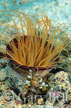 Commensal Anemone Shrimp on Tube Anemone. Bali, Indonesia
