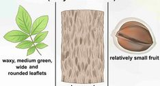 3 Ways to Identify Oak Leaves - wikiHow Red Oak Tree, White Oak Tree, Hickory Tree, Old Hickory, Tapping Maple Trees, Tree Identification, Spruce Tree, Oak Leaves, Leaf Shapes