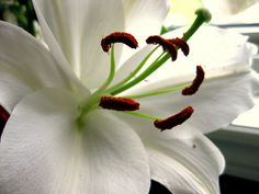 White Tiger Lily with Crimson White Lilies, Lily, Pure Products, Plants, Orchids, Plant, Lilies, Planets