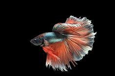 Siamese Fighting Fish by Jaturapat Pattanacheewin on 500px