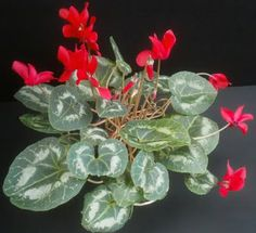 cyclamen...info on letting them go dormant during summer time  http://gardening.about.com/od/houseplants/a/Cyclamen.htm
