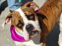 TO BE DESTROYED - 03/04/15 Brooklyn Center -P  My name is DIAMOND. My Animal ID # is A1028829. I am a female white and br brindle amer bulldog mix. The shelter thinks I am about 1 YEAR 3 MONTHS old.  I came in the shelter as a OWNER SUR on 02/25/2015 from NY 11368, owner surrender reason stated was MOVE2PRIVA. https://www.facebook.com/photo.php?fbid=970141116332101