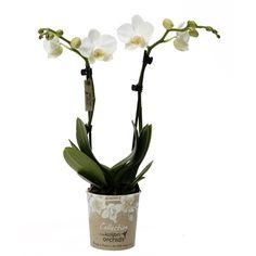 Little kolibri orchids niagara