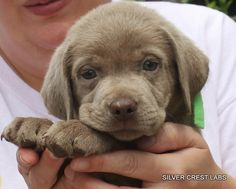 Planned Silver Labrador Puppy litters, Planned Charcoal Labrador Puppy litters at Silver Crest Labs let you know when our Lab puppies are available. Silver Labrador Puppies, Labrador Puppies For Sale, Rottweiler Puppies, Baby Puppies, Baby Dogs, Cute Puppies, Cute Dogs, Dogs And Puppies, Labrador Breeders