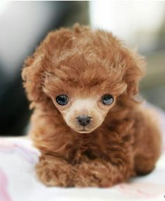This little poodle looks like a camel :-) Puppies And Kitties, Teacup Puppies, Cute Cats And Dogs, Baby Puppies, Animals And Pets, Cute Animals, Poodle Puppies, Teddy Bear Dog, Really Cute Puppies