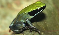 The Green Mantella (Mantella viridis)