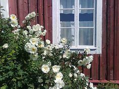 reminds me of my grandparents old cottage, surrounded by wild roses, grammy named it 'the rose chalet'