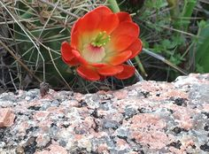 Orange cactus flower... Pink Granite! The changing COLORS of the ROCK! Enchanting! Enchanted Rock, Texas Vacations, Fredericksburg Texas, Peaceful Places, Cactus Flower, Travel Information, Bed And Breakfast, The Rock, Granite