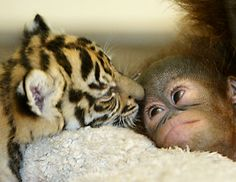 Baby tiger & orangutan wish i could snuggle these little babies!