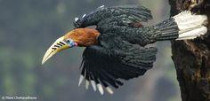 Rufous Necked Hornbill  (1399×676)