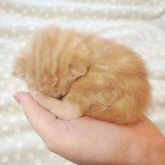 8 Best Cheetoh Cat Images On Pinterest Cats Exotic Cat
