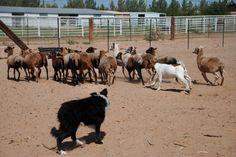 Joker herding sheep. #herding #bordercollie joker herd