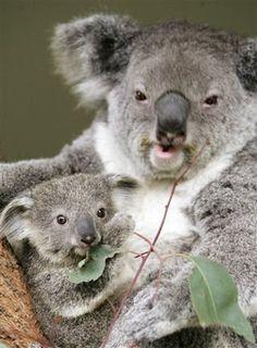Een koala beertje