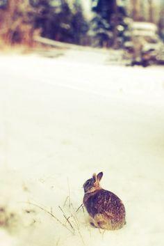 Winter Rabbit on Flickr