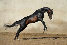 Asyl Akhal-Teke Stud Farm - adress: Kazakhstan, Almatyphones: — Nartai Borambaevich — Akmaral Nartaevna e-mail: Cute Horses, Pretty Horses, Horse Love, Beautiful Creatures, Animals Beautiful, Akhal Teke Horses, Zebras, Most Beautiful Horses, Clydesdale