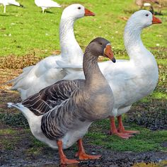 domestic geese breeds   Greylag Goose Hybrid