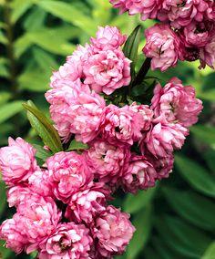 Roze sieramandelboom | Bomen en heesters | Bakker Hillegom