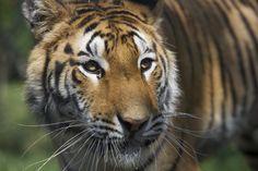 Au Népal, notre programme de conservation du tigre est basé sur les communautés locales et vise notamment à réduire la pression de l'homme sur l'habitat du félin.  #Tigres © Awely, des animaux et des hommes