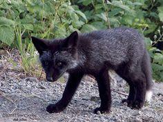 Black Fox...like that he looks like an old man with bushy eyebrows
