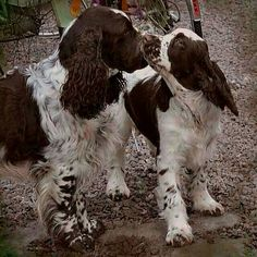 springers are the best dogs in the world.