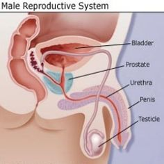 How To Keep The Male Reproductive System Healthy