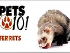 Pets 101 - Ferrets...everyone should watch this video and any other informational videos on ferrets before getting a ferret! Yes they are adorable and cute but do your research people!!!