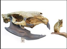 Giant Fossil Rodent Discovered In Uruguay