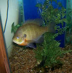 Pics for freshwater sunfish image data pinterest for Bluegill fish tank