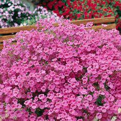 Amppelidiana vaaleanpunainen - Viherpeukalot