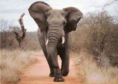 Éléphant qui charge.