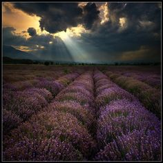Lavender... This must be what Heaven smells/looks like.
