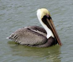 Have fun learning fast facts about Louisiana, The Pelican State! There are many Eastern Brown Pelicans on the coast of Louisiana. They have been a symbol of Louisiana since the early European settlers noticed how carefully they raised their chicks. Louisiana Facts, Louisiana Homes, New Orleans Louisiana, Pelican Art, State Birds, Bird Feathers, Beautiful Birds, Beautiful Places, Brown
